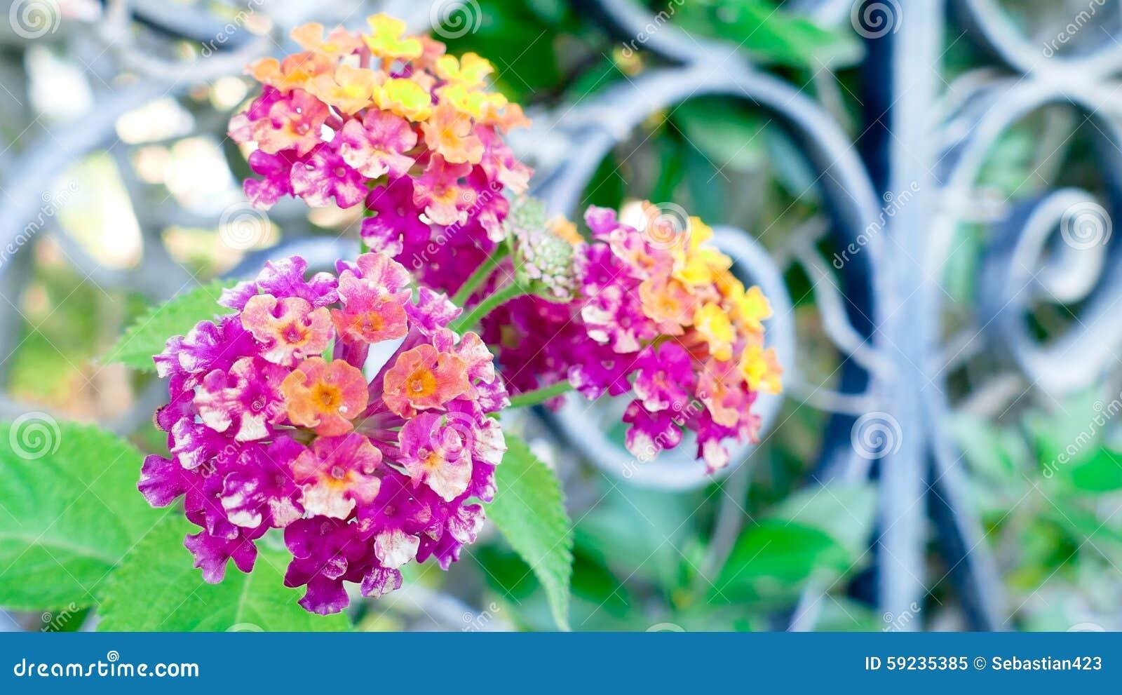 Download Flores del Lantana imagen de archivo. Imagen de floraciones - 59235385