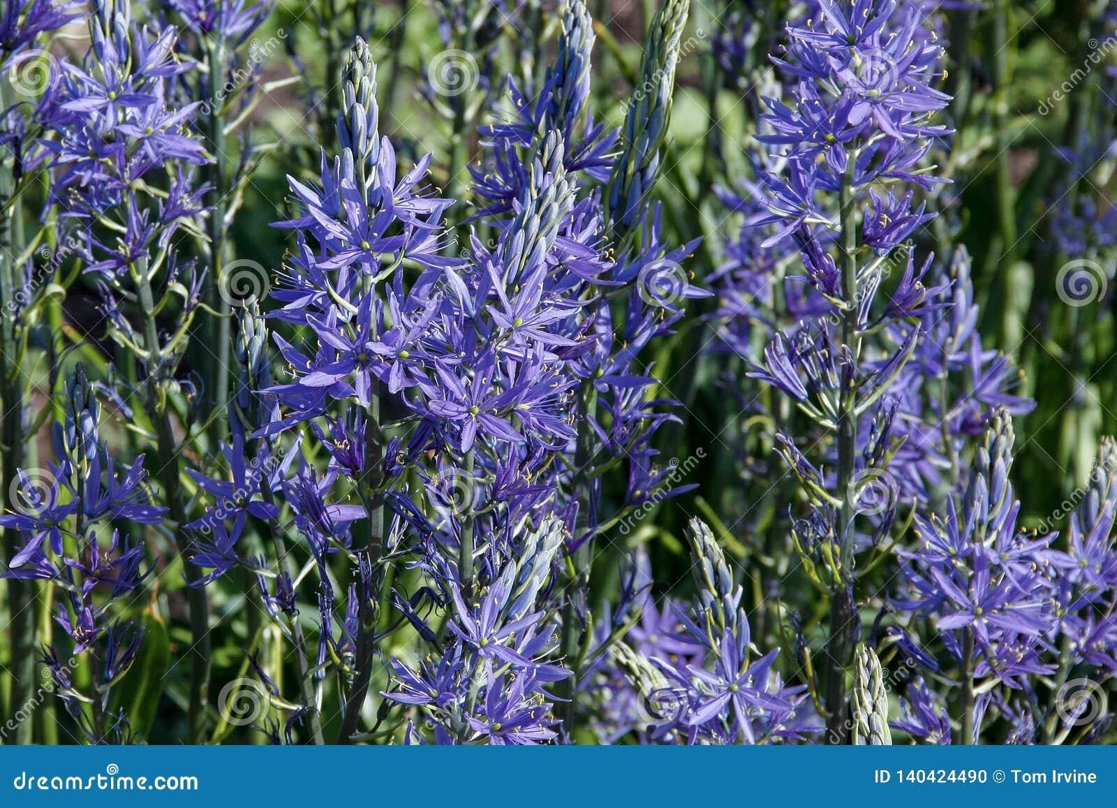 Flores del leichtlinii Camas grande del Camassia