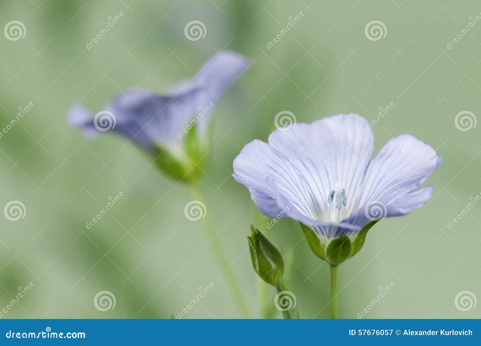 Flores del lino (usitatissimum de Linum)