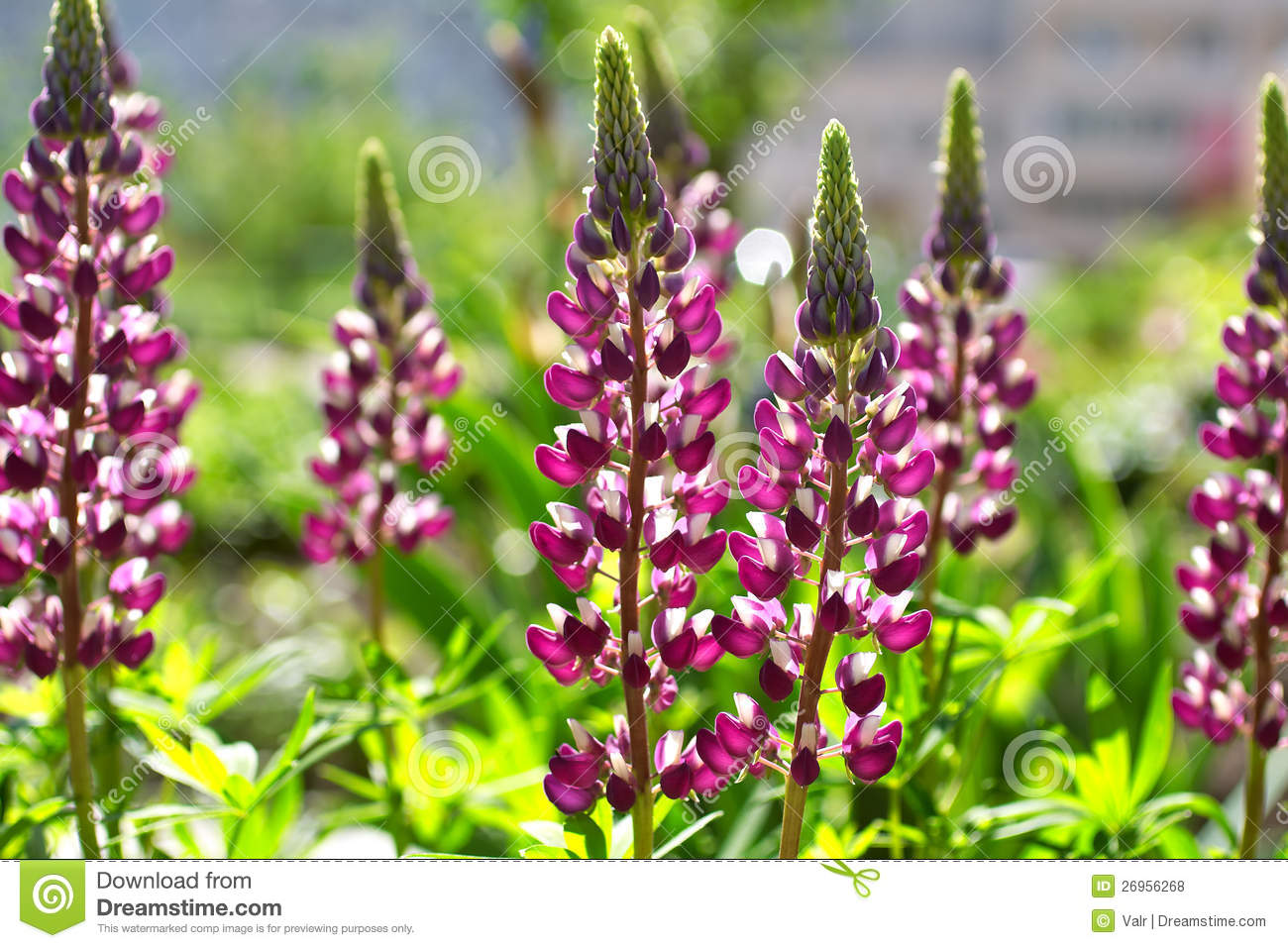 Flores del Lupine