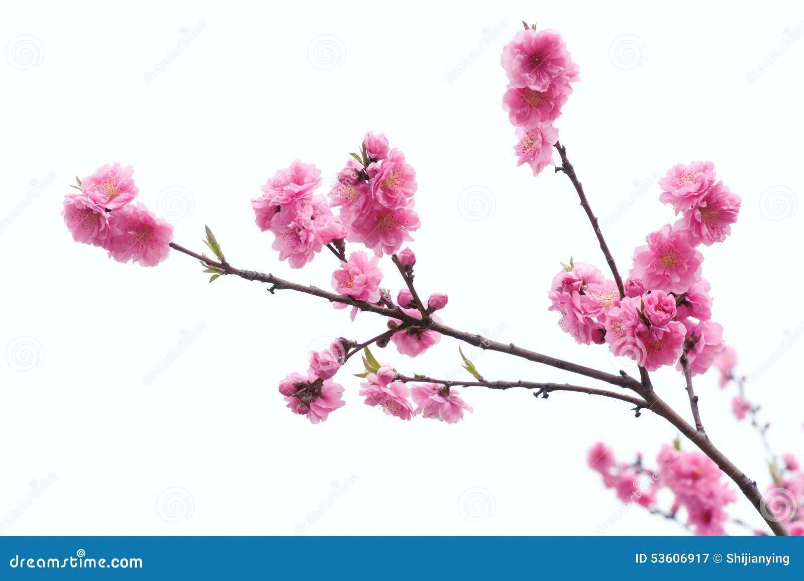 Flores del melocotón