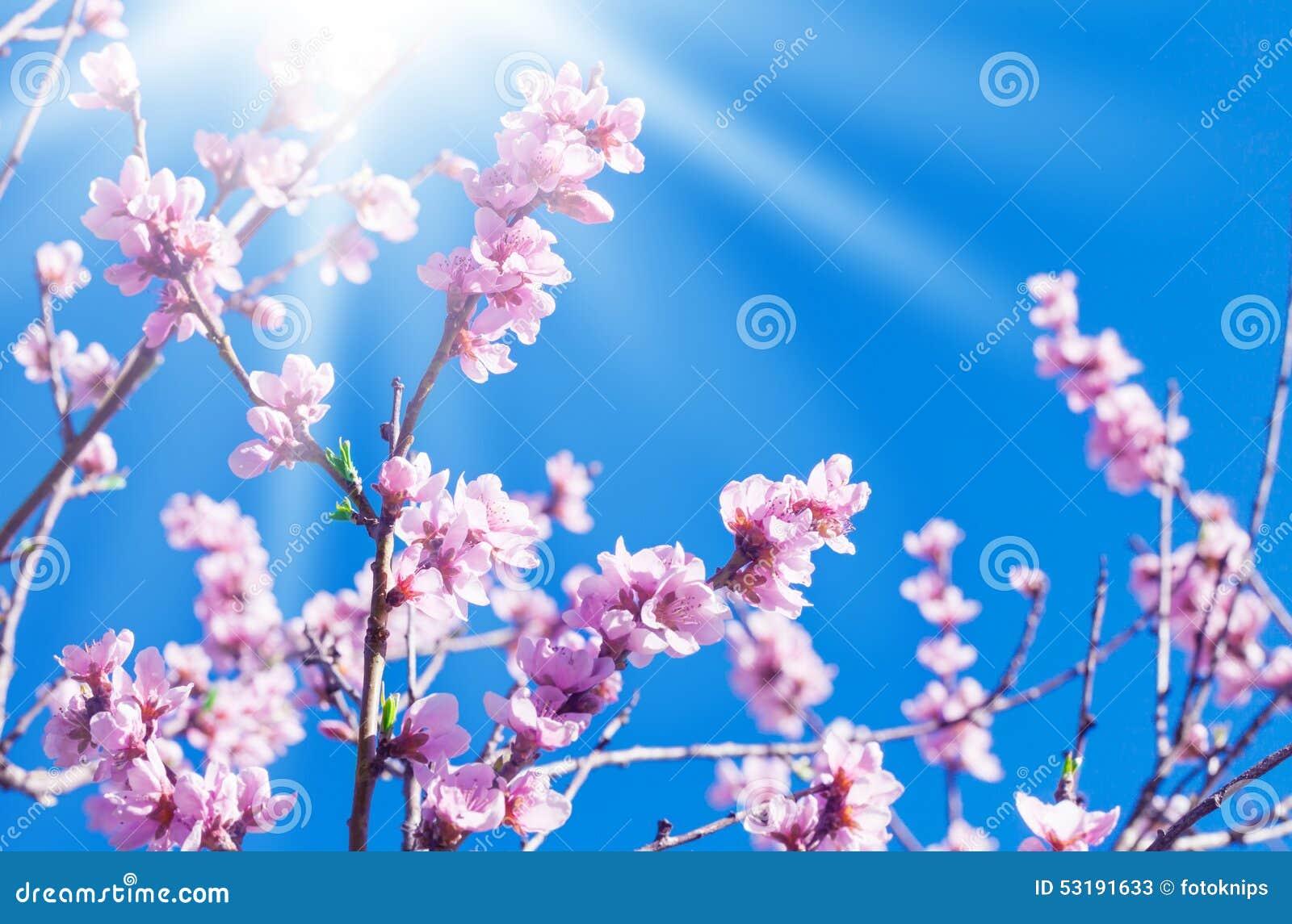 Flores del melocotón, sol