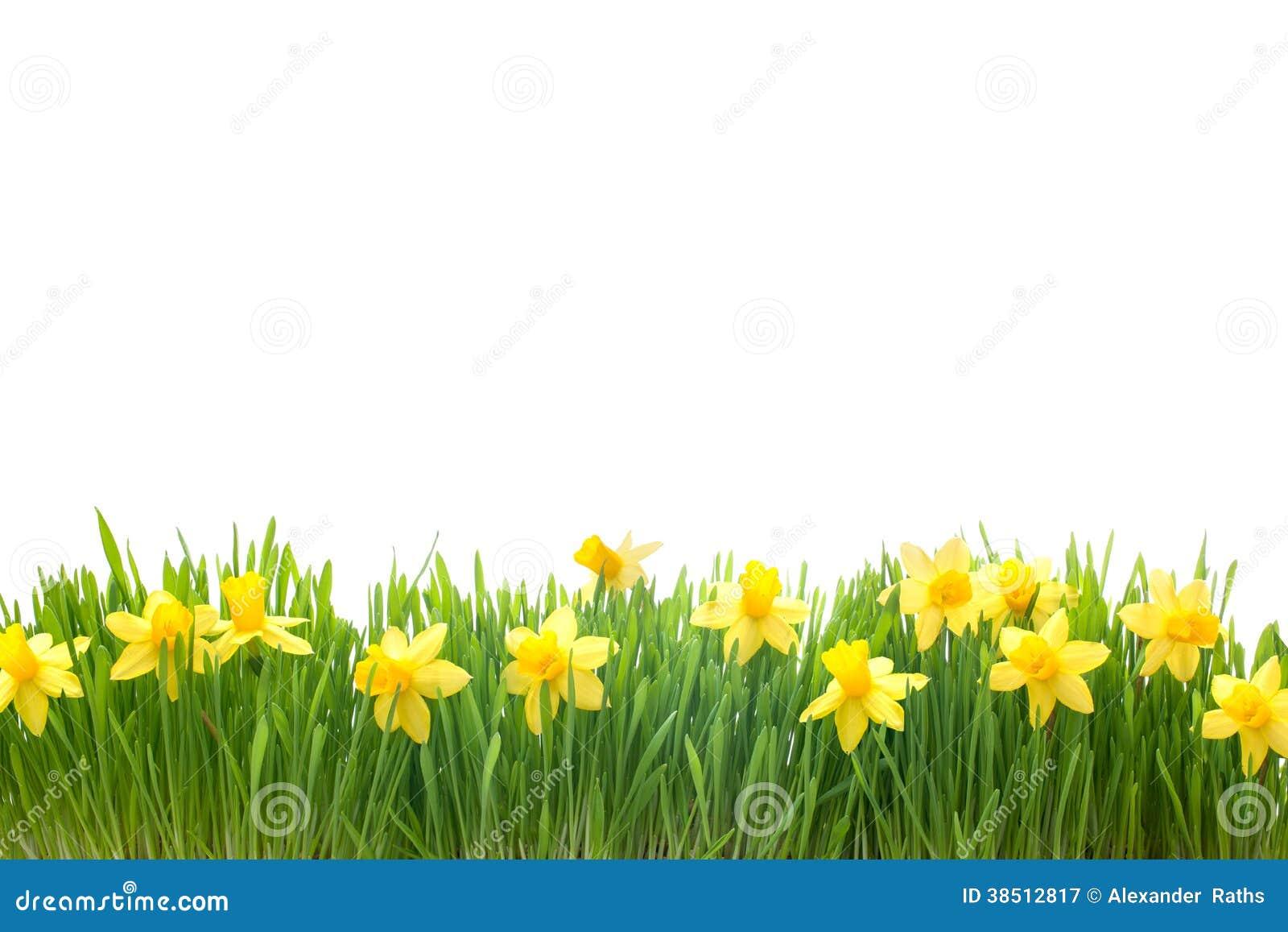 Flores del narciso de la primavera en hierba verde