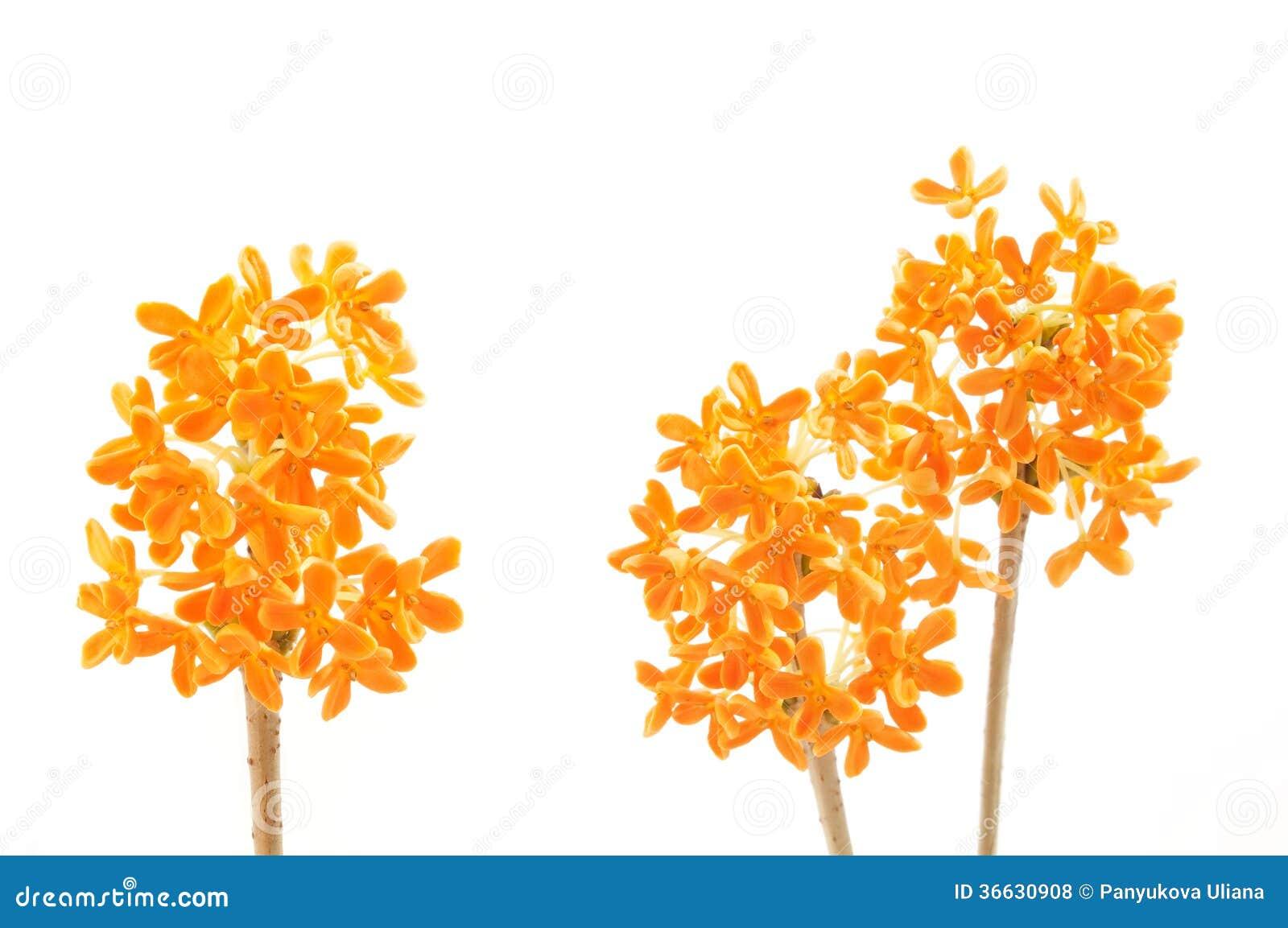 Flores del osmanthus dulce