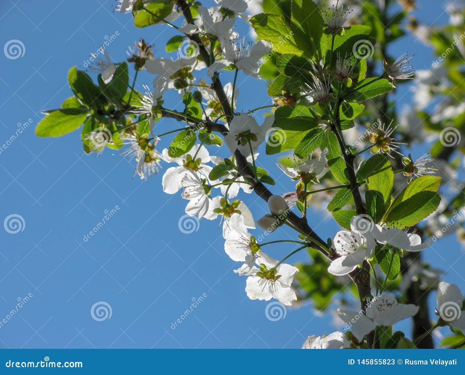 Flores del ?rbol de ciruelo con el fondo del cielo azul