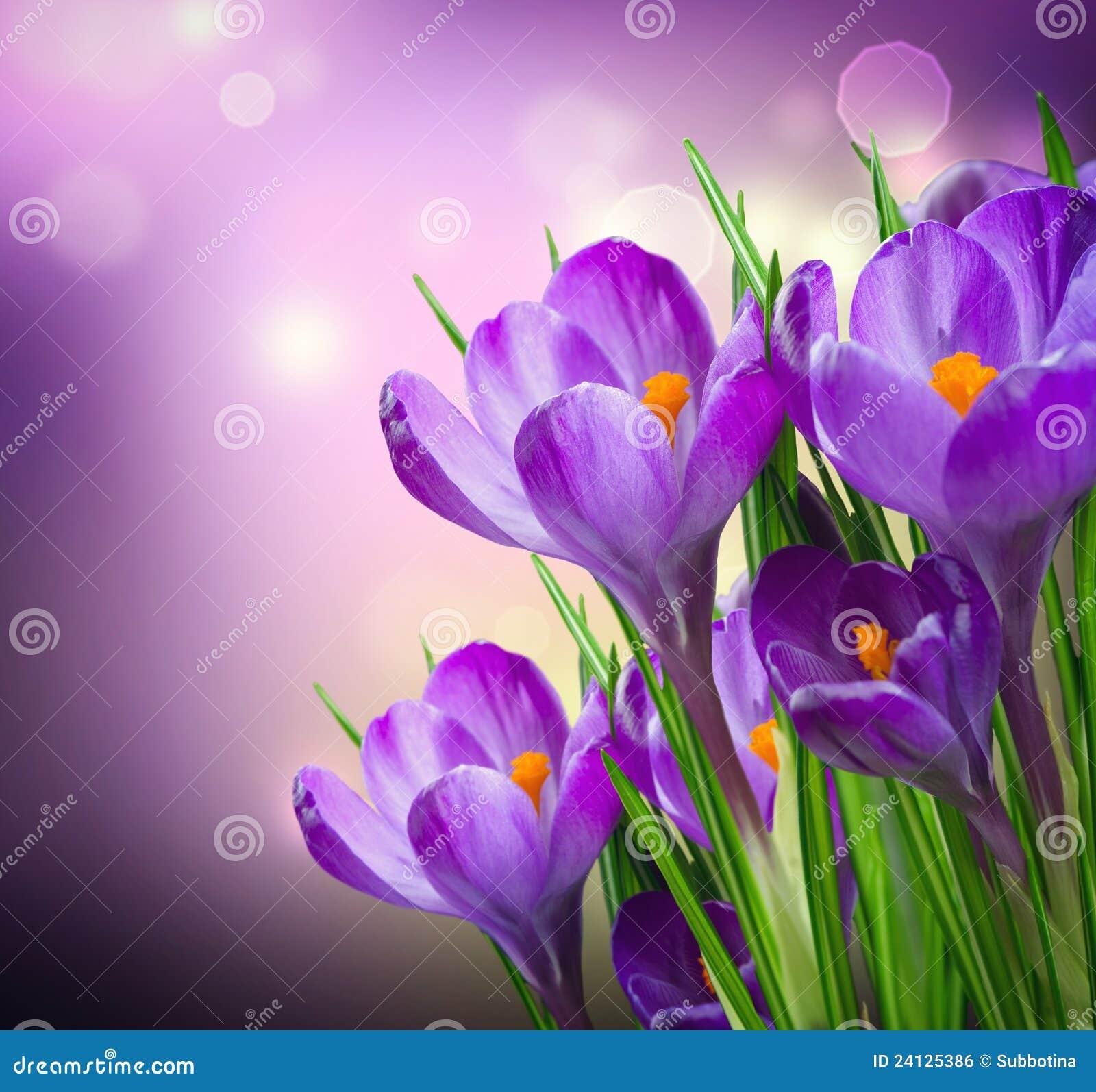 Flores del resorte del azafrán