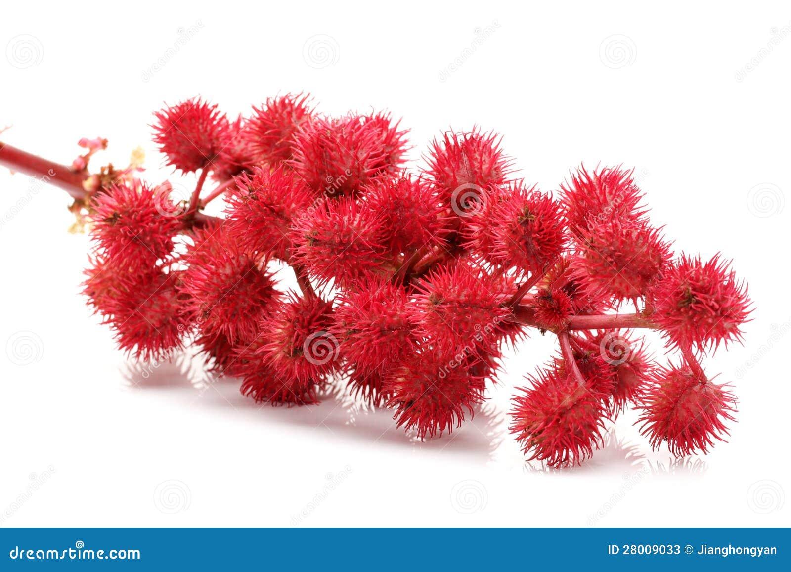 Flores del ricino