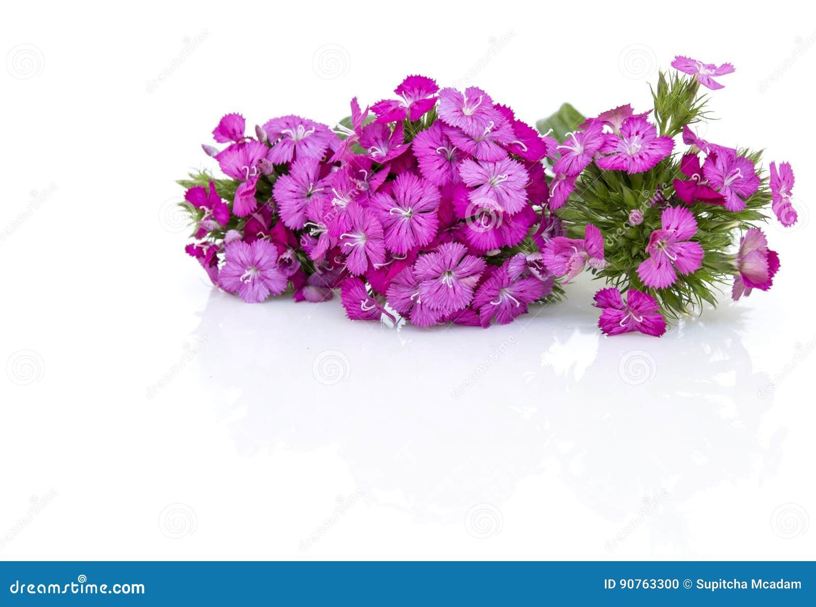 Flores del rosa del barbatus del ianthus (Guillermo dulce) aisladas en blanco