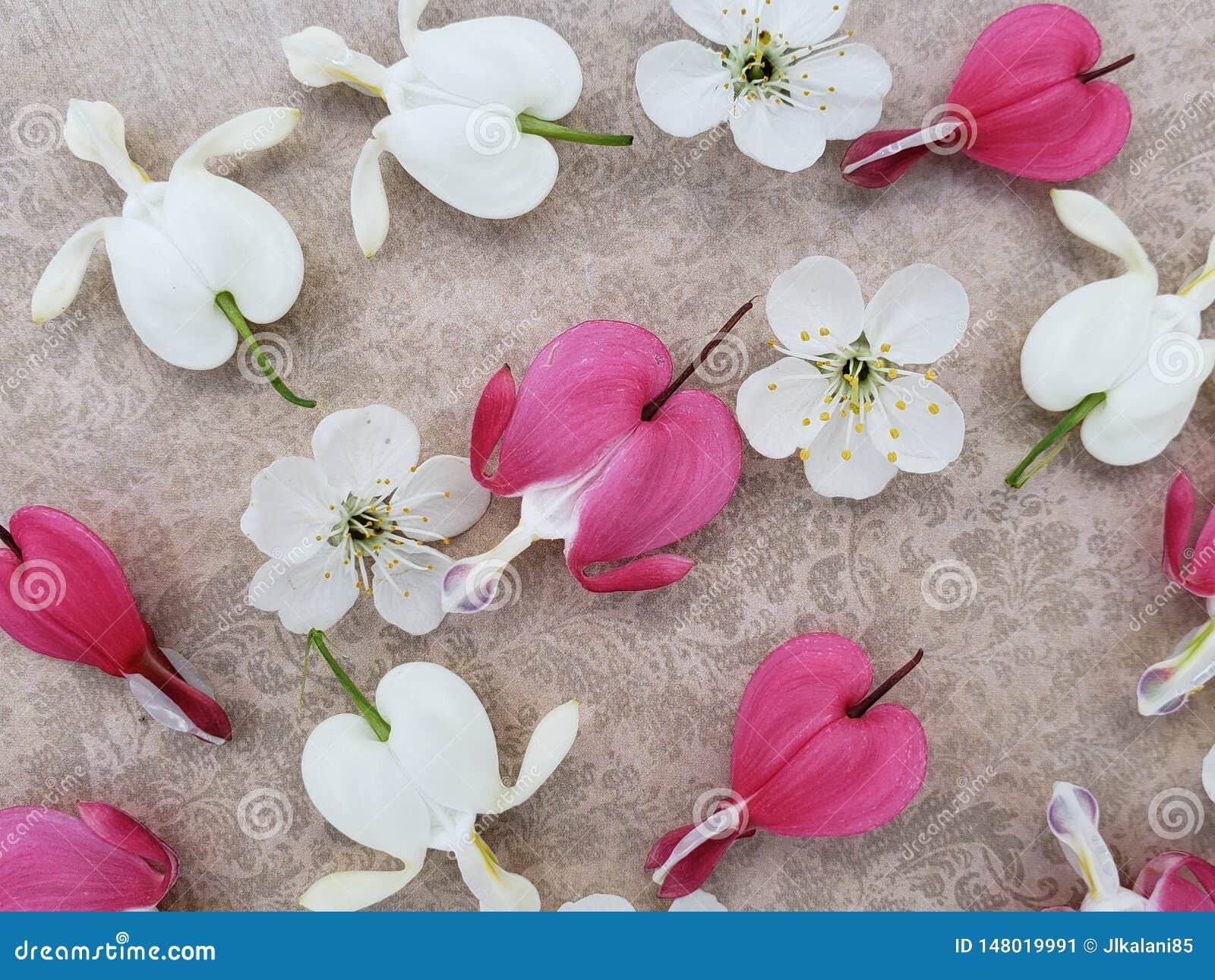 Flores del rosa y blancas del coraz?n sangrante con las flores de cerezo dispersadas en fondo rom?ntico
