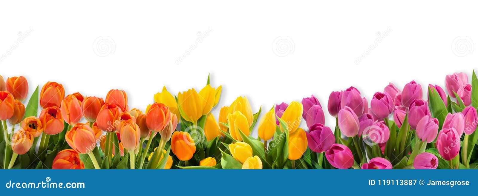 36a534c66922 Flores Del Tulipán Agrupadas Juntas En Fila Imagen de archivo ...