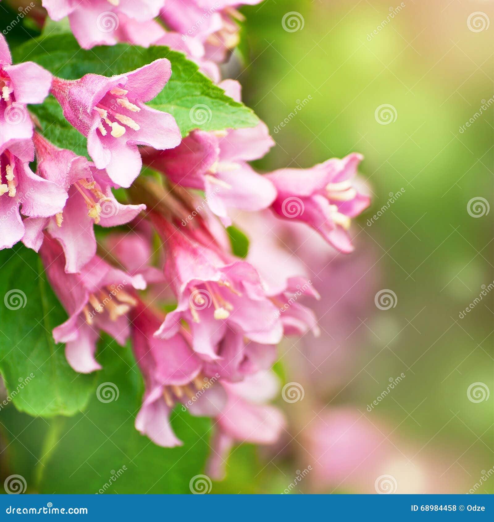 Flores del weigela rosado