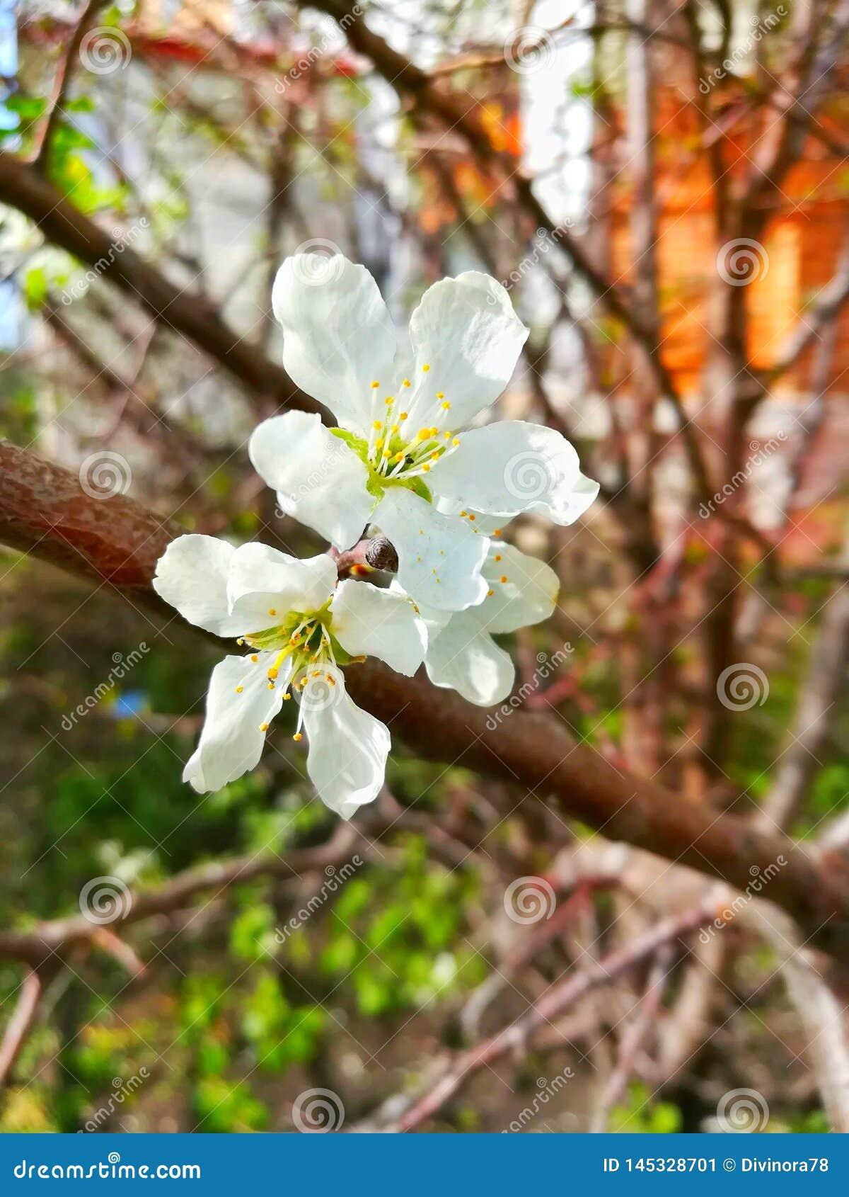 Flores delicadas da cereja dos brancos