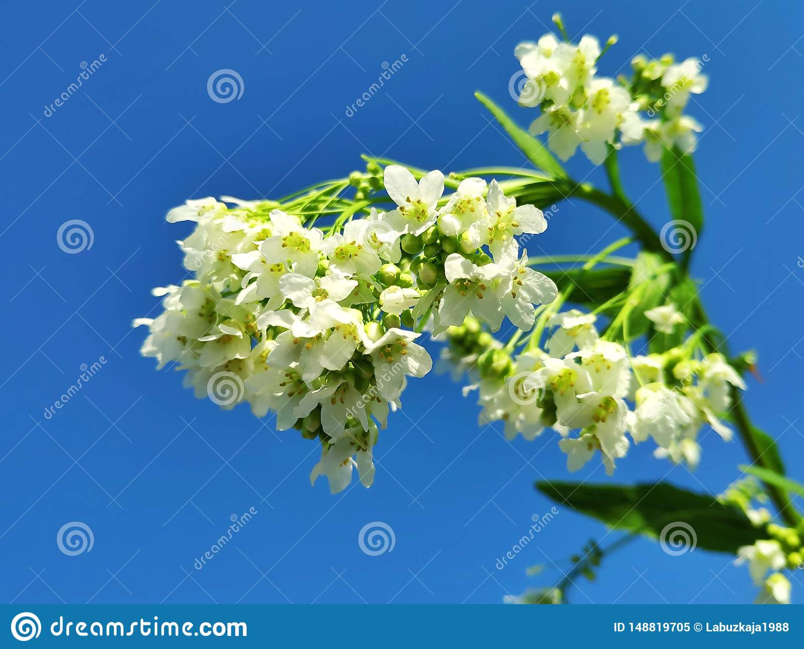 Flores delicadas del rábano picante del jardín