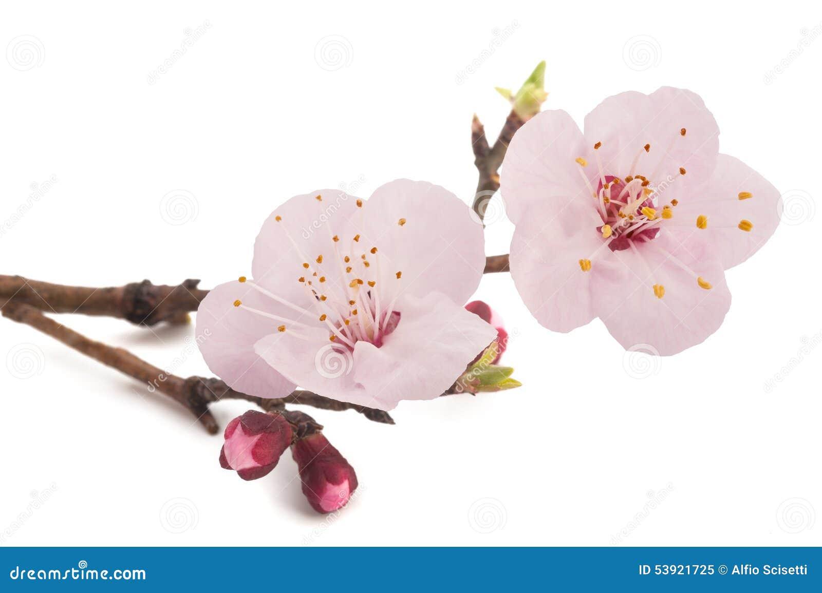 Flores do abricó