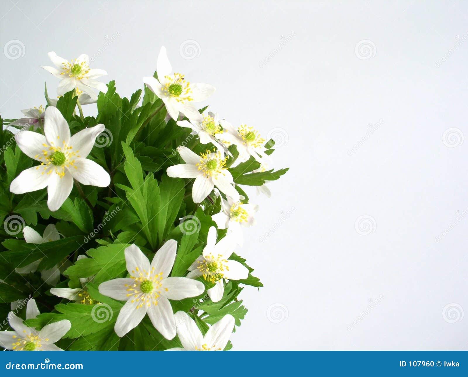 Flores do Anemone