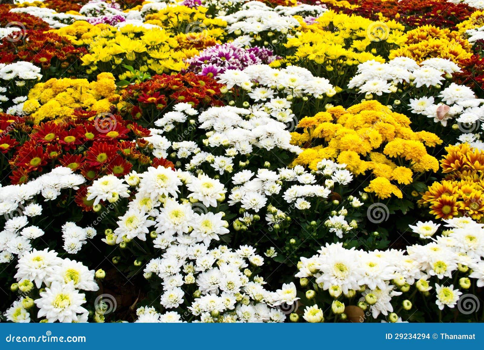 Download Flores do cravo-de-defunto foto de stock. Imagem de naughty - 29234294
