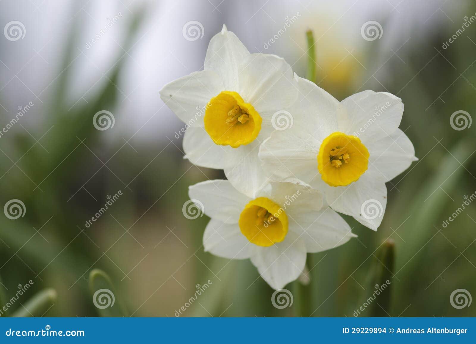 Download Flores do Daffodil foto de stock. Imagem de flor, nasals - 29229894