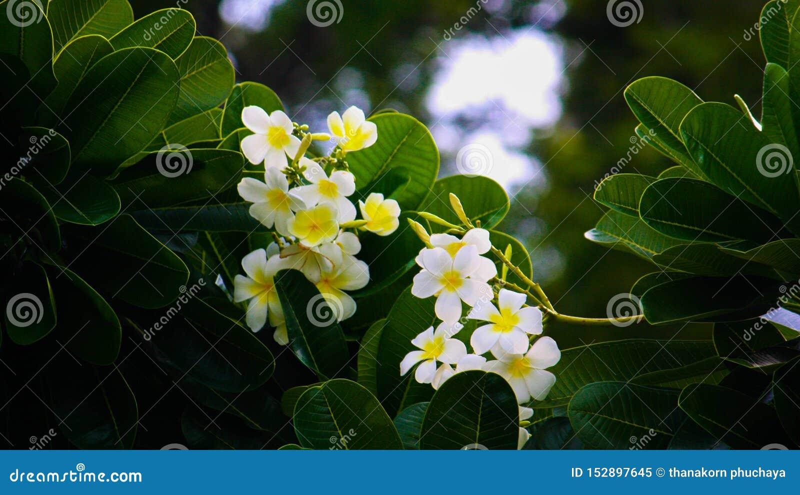 Flores do Frangipani com as folhas verdes luxúrias