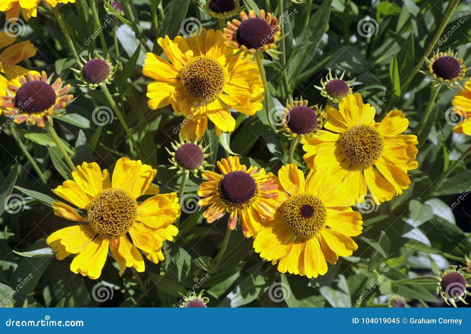 Flores Do Heliopsis Flores Do Amarelo Do Sol De Tuscan