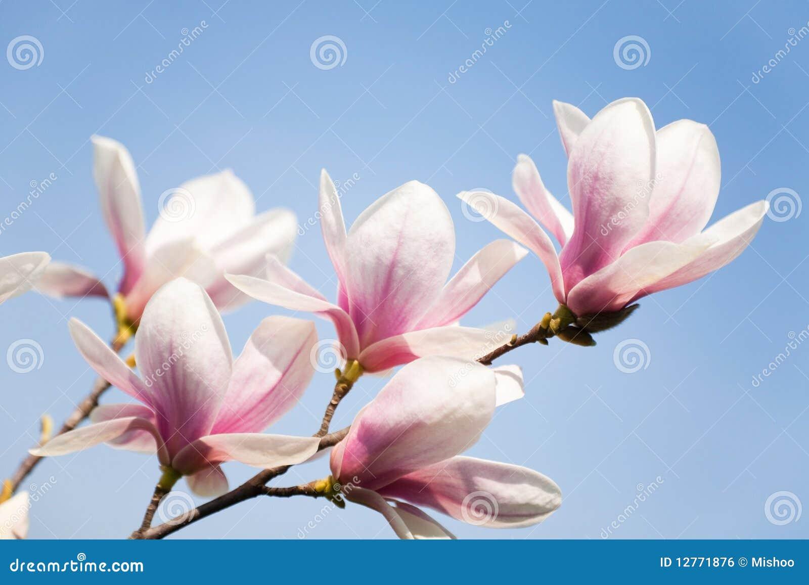 Flores do Magnolia no céu