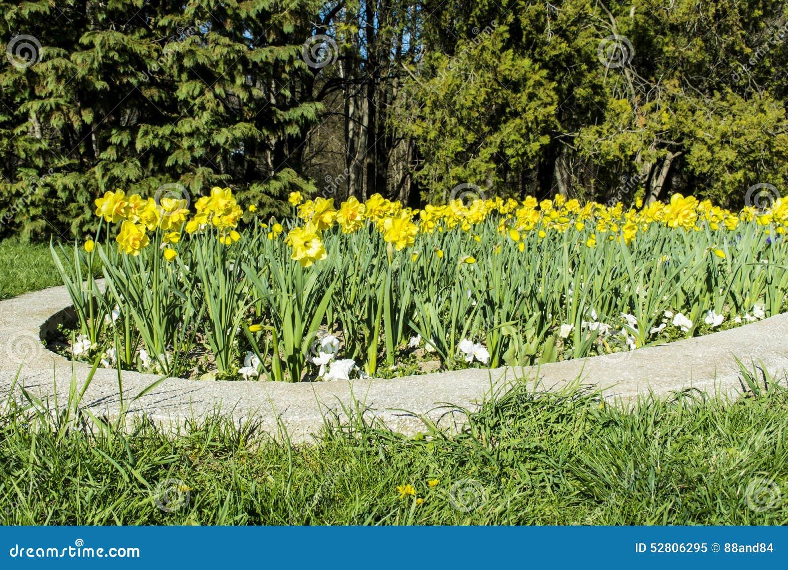 flor de jardim amarela:Flores Do Narciso Em Um Jardim Da Mola Foto de Stock – Imagem