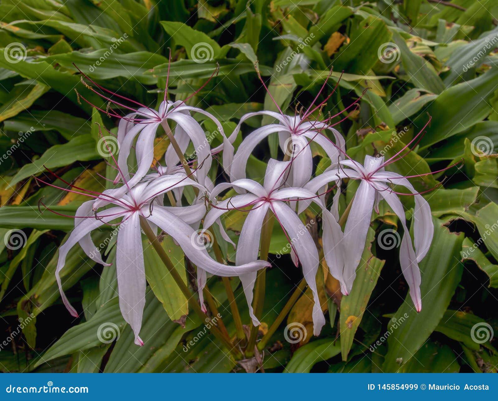 Flores do pântano-lírio de Florida em um jardim