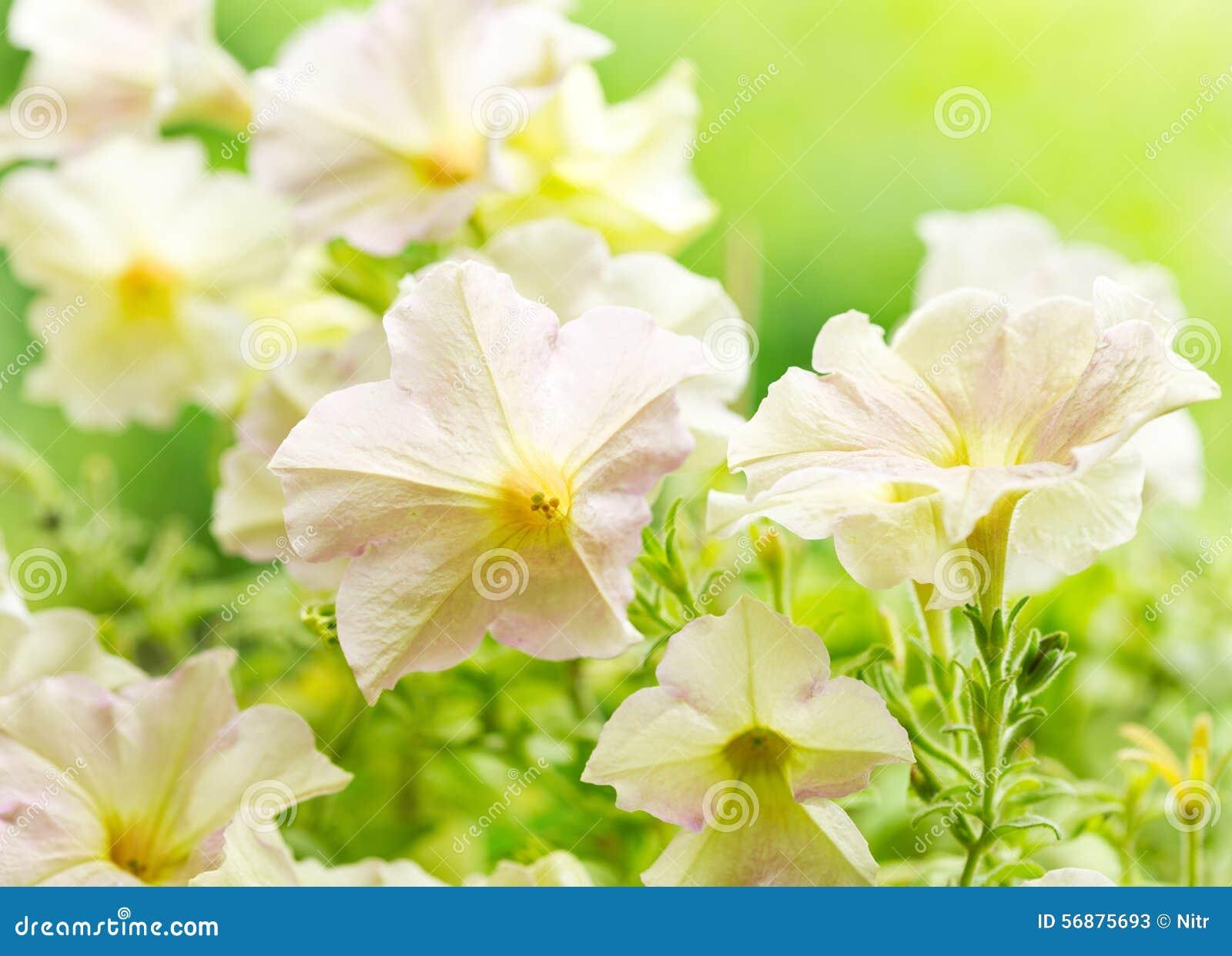 Flores do petúnia