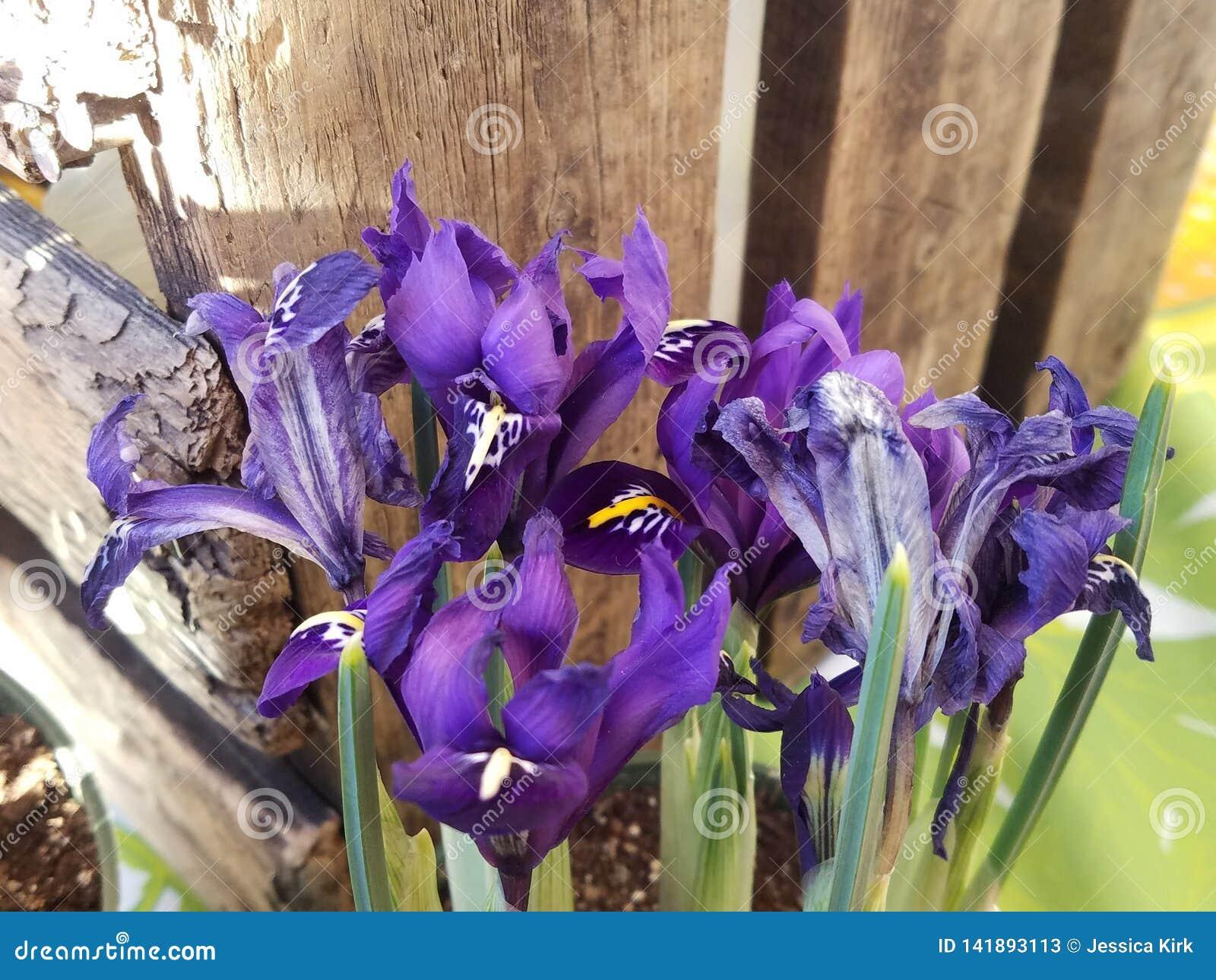 Flores do reticulata da íris na flor