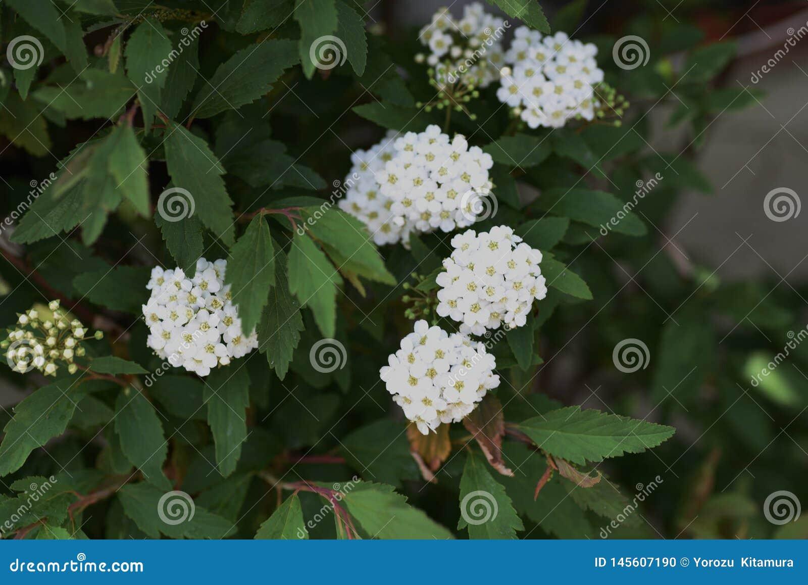 Flores do spirea de Reeves