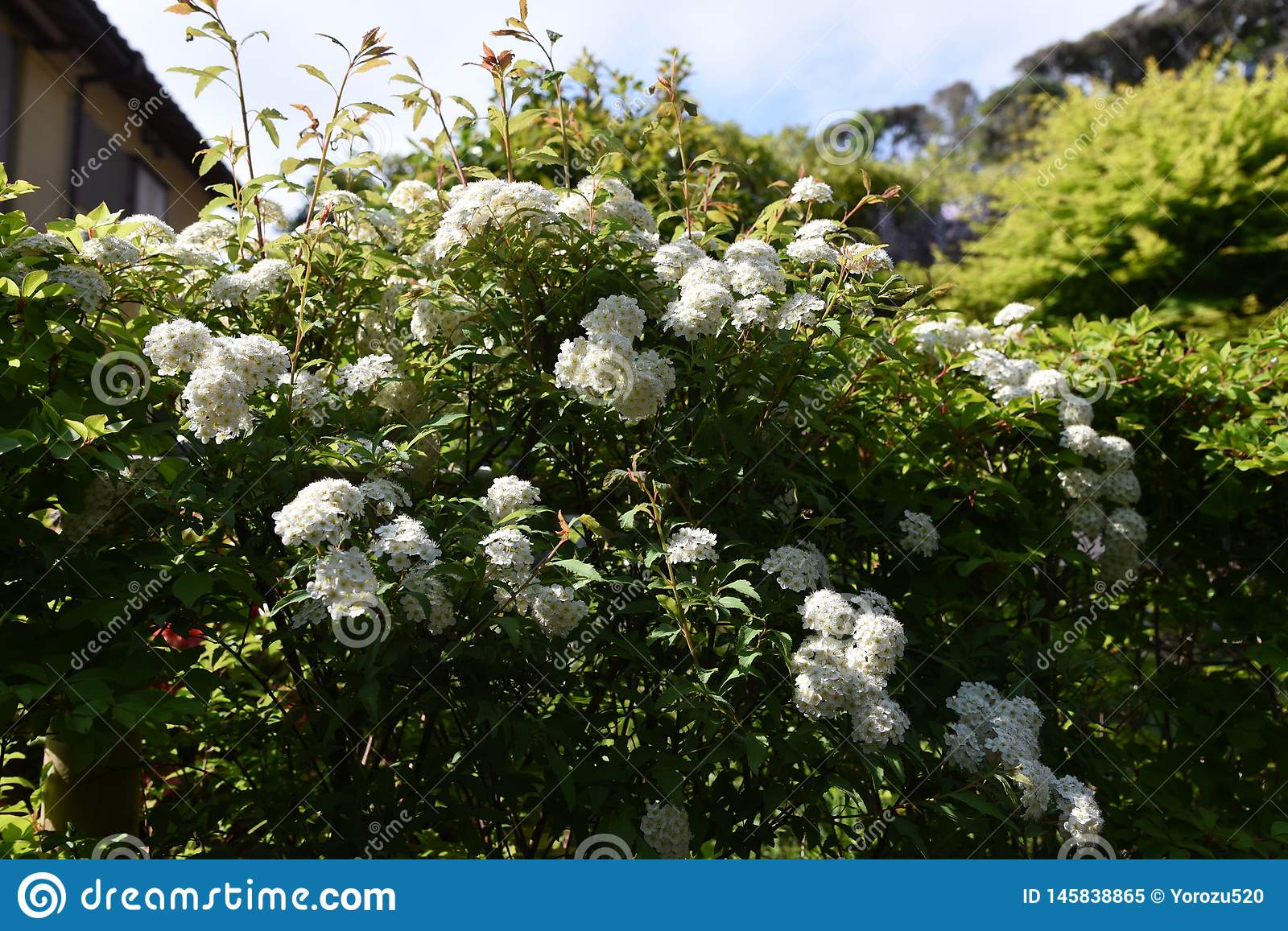 Flores do spirea de Reeves