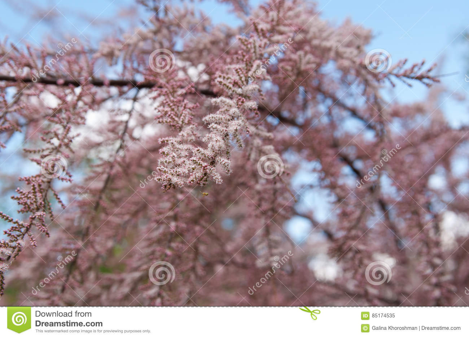 Flores do tamarix