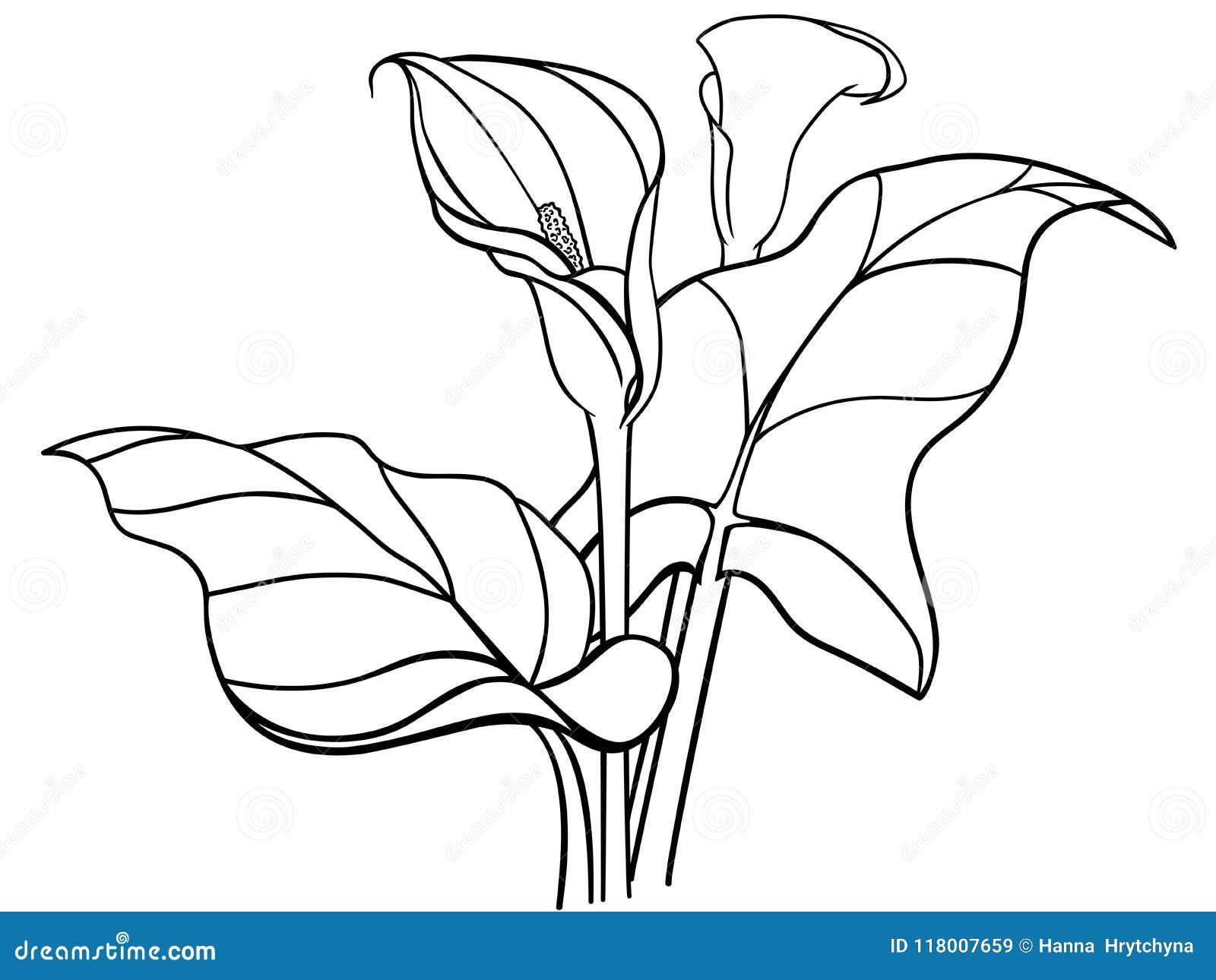 Flores Dos Callas Com Folhas Ramalhete Callas Brancos Lirios A
