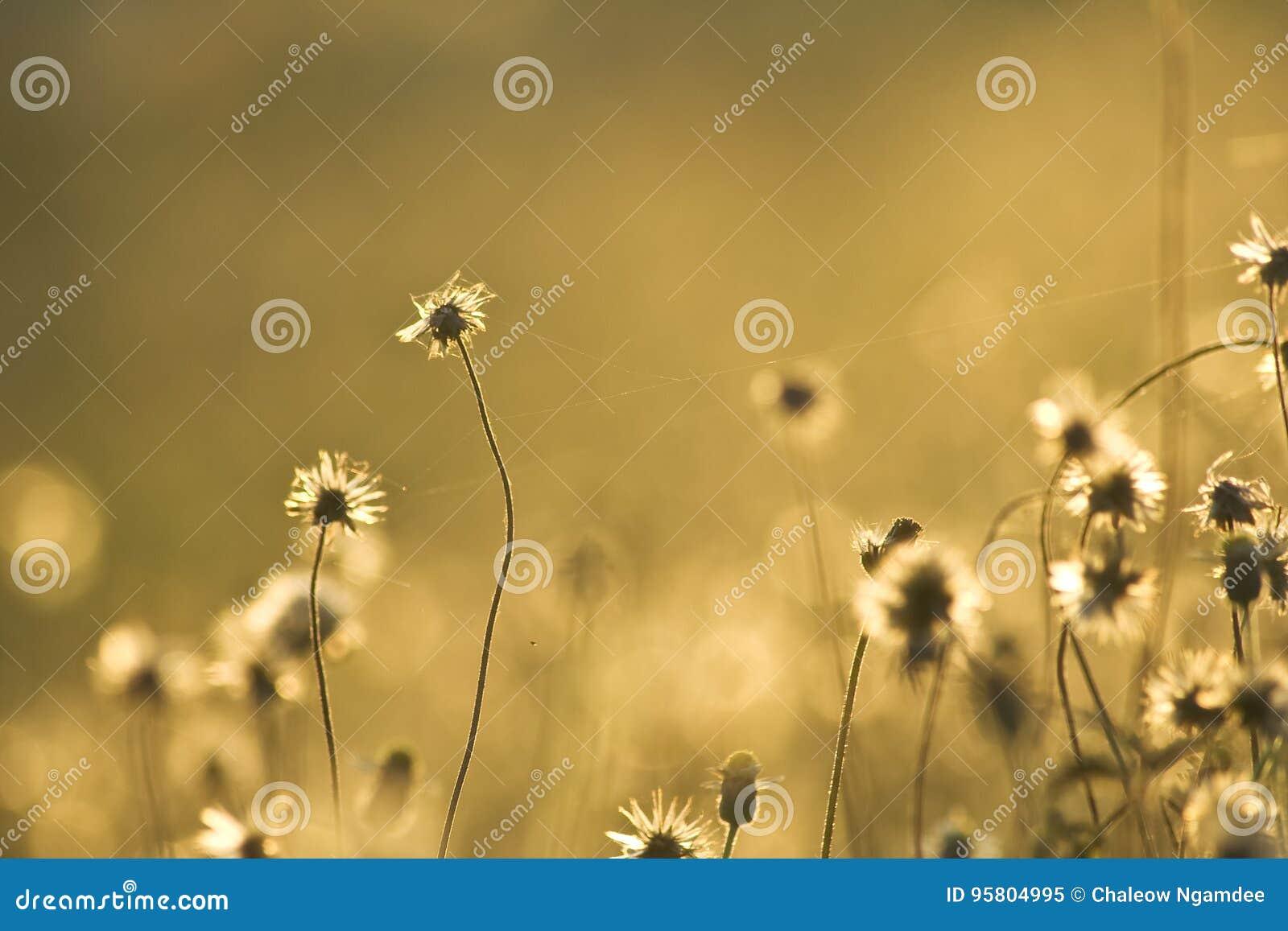 Flores douradas da grama