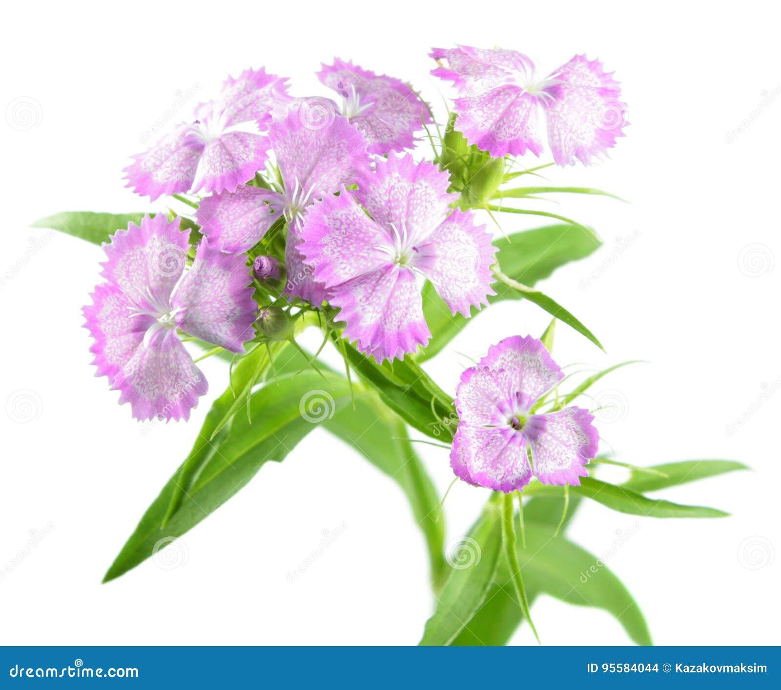 Flores dulces rosadas de Guillermo aisladas en el fondo blanco