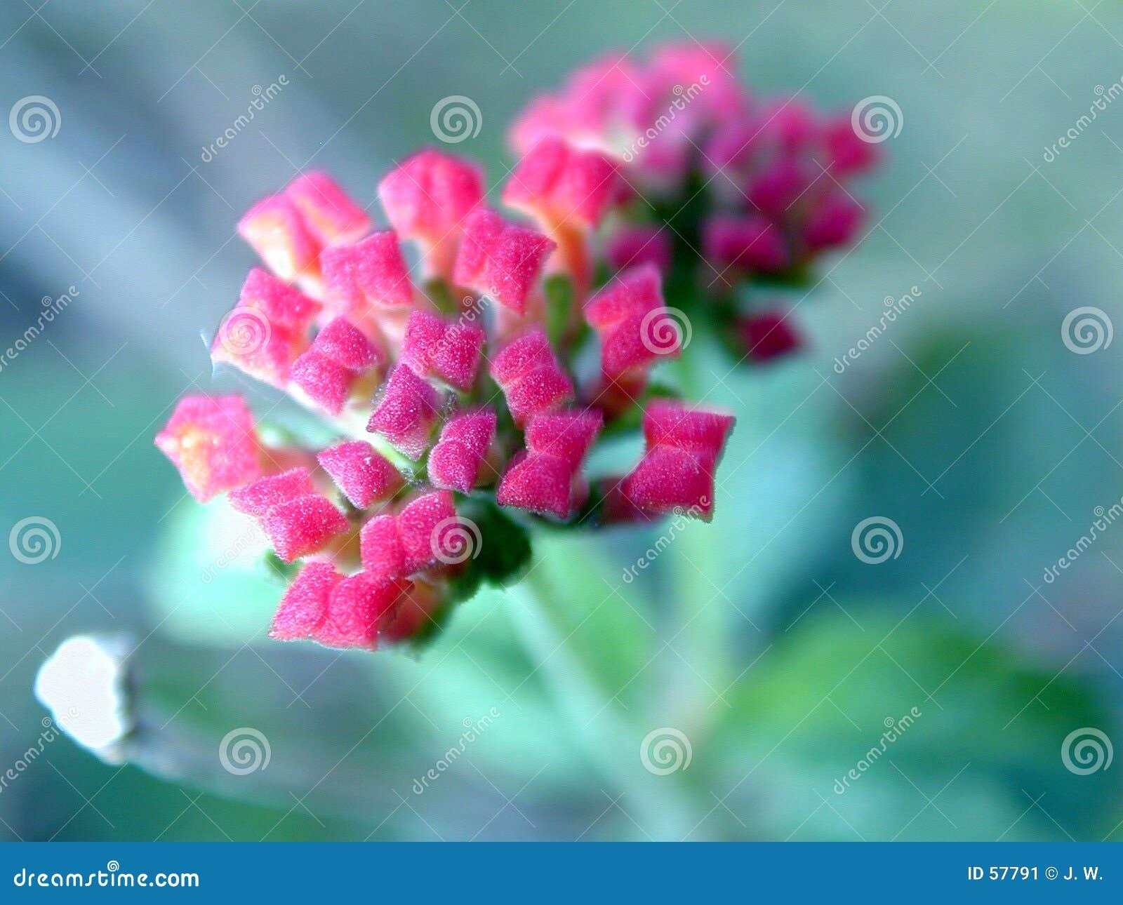 Flores em botão