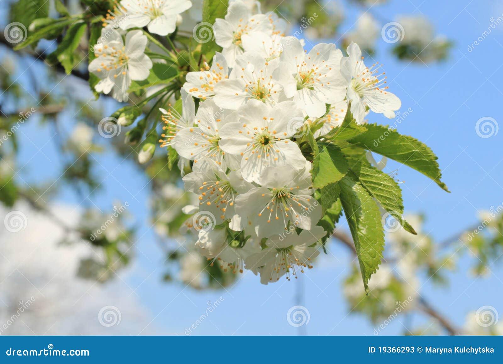 Flores em botão da cereja da mola