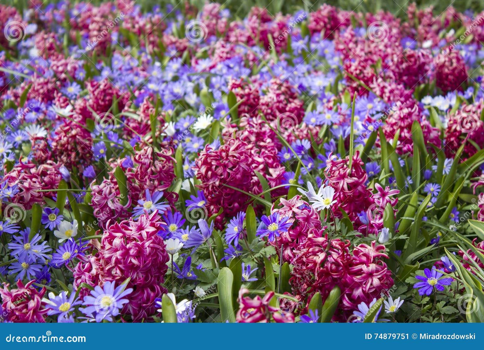 Flores em Keukenhof, Países Baixos