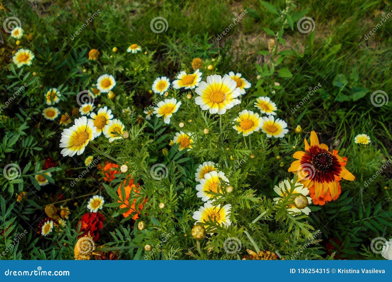 Flores en el jardín Platyglossa del Layia