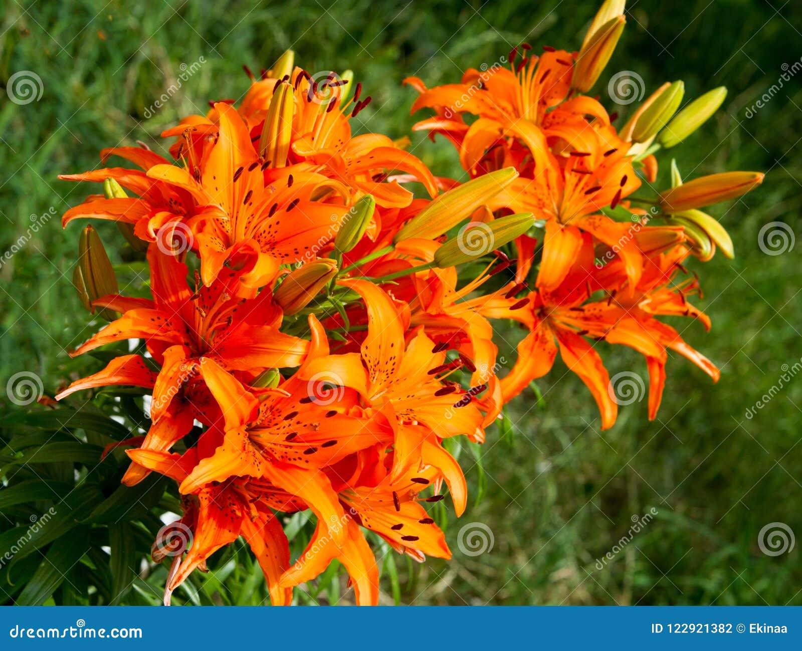 Flores en el macizo de flores El lirio tigrado (lancifolium del Lilium o