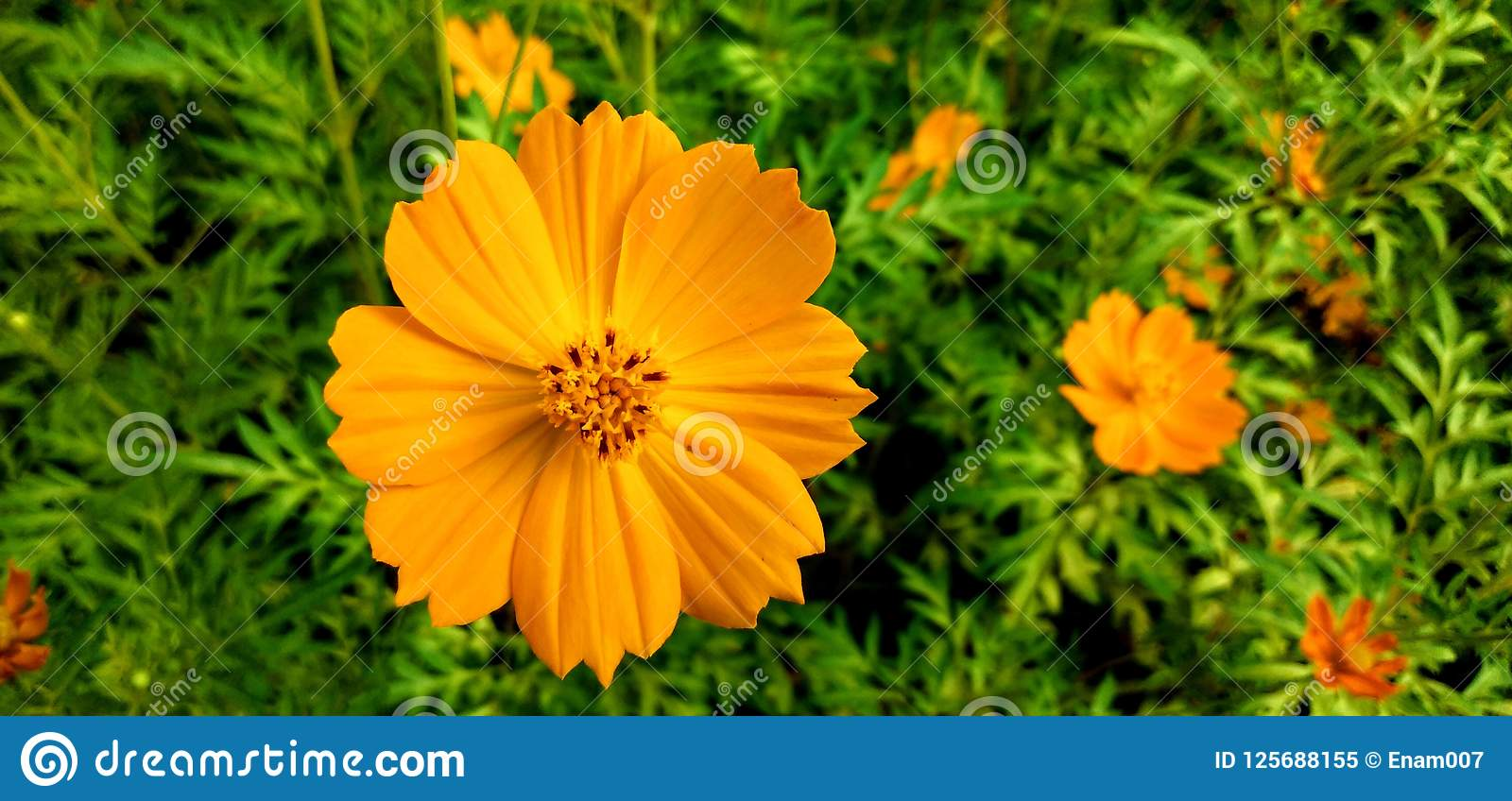 Flores en gazipur