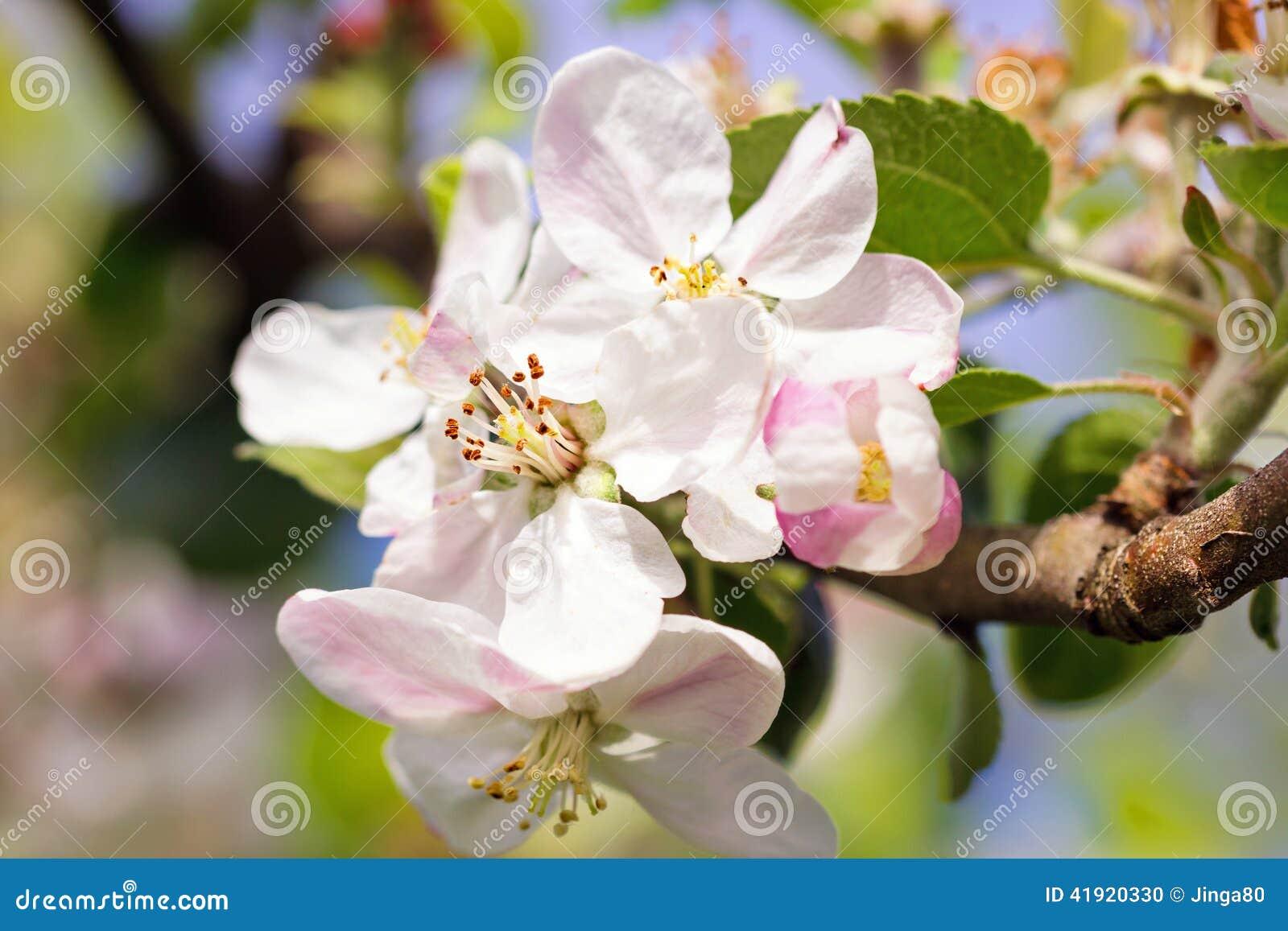 Flores florecientes de la manzana en huerta