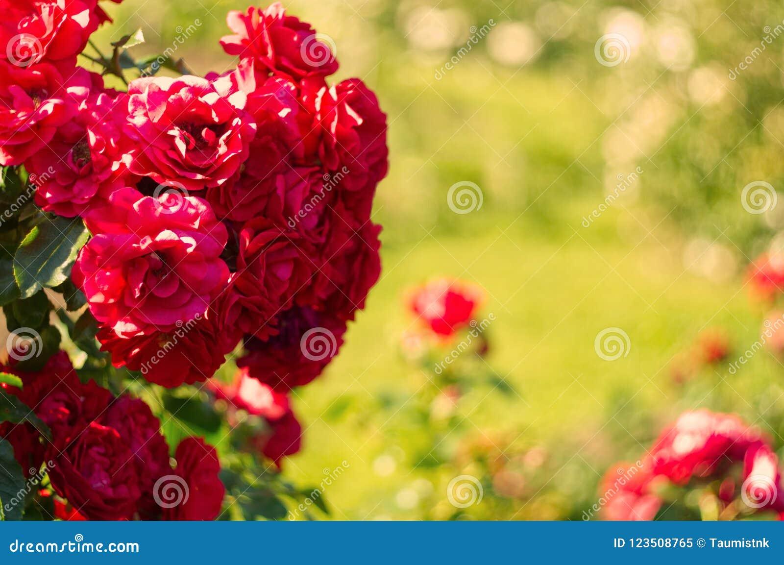 Flores Florecientes Del Floribunda En El Jardín De Rosas ...