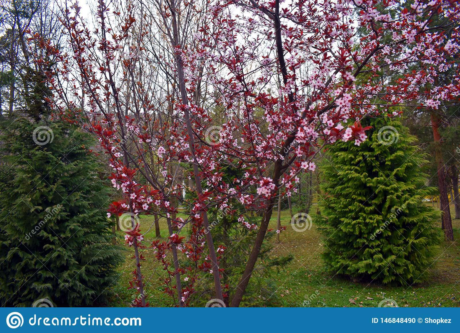 Flores florecientes del rosa del melocotón en el tiempo de primavera