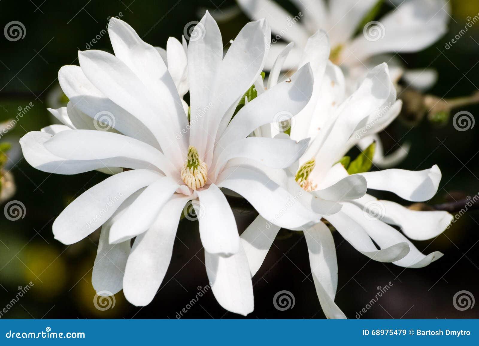 Flores florecientes del stellata de la magnolia