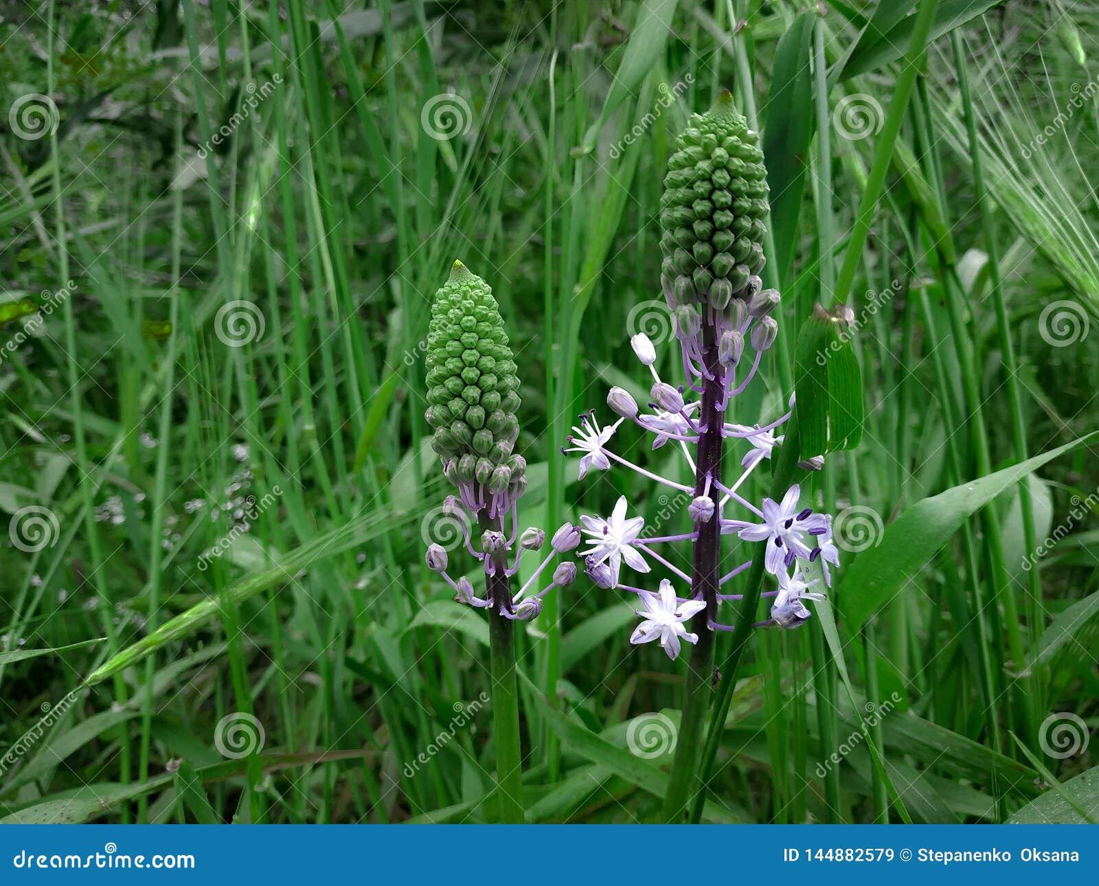 Flores florecientes purpúreas claras de Hyacinth Squill Fondo del paisaje de la hierba verde Campo de la naturaleza del Wildflow