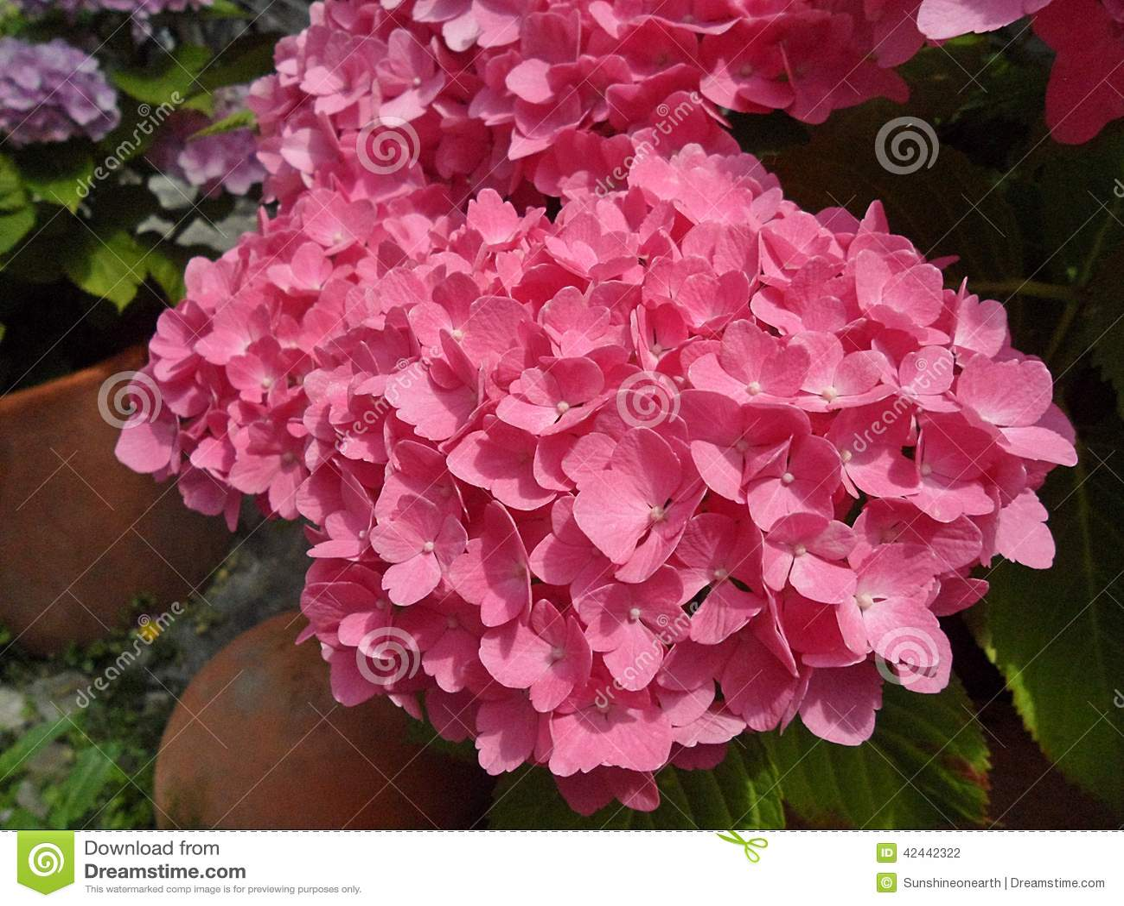 Flores frescas de la hortensia del rosa del flor