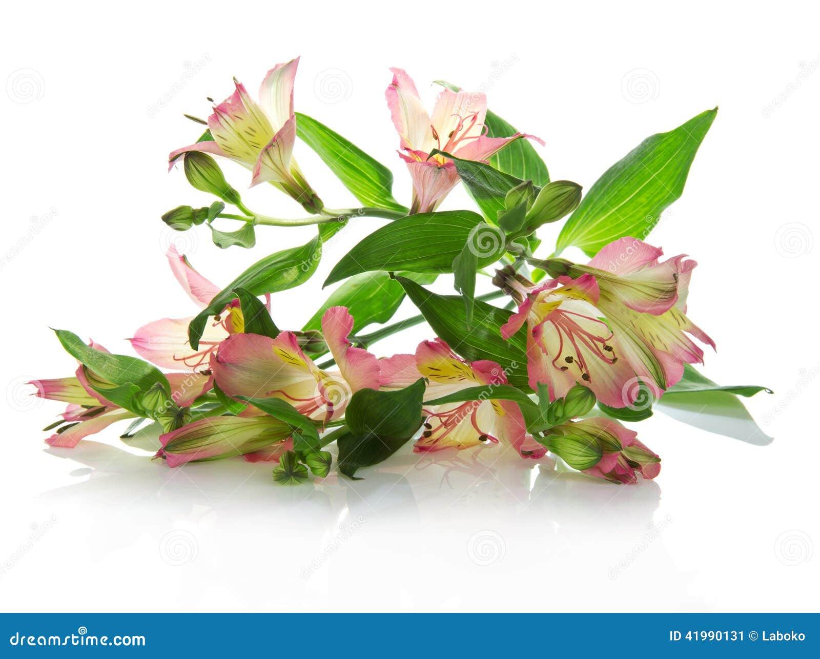 Flores frescas de um alstroemeria