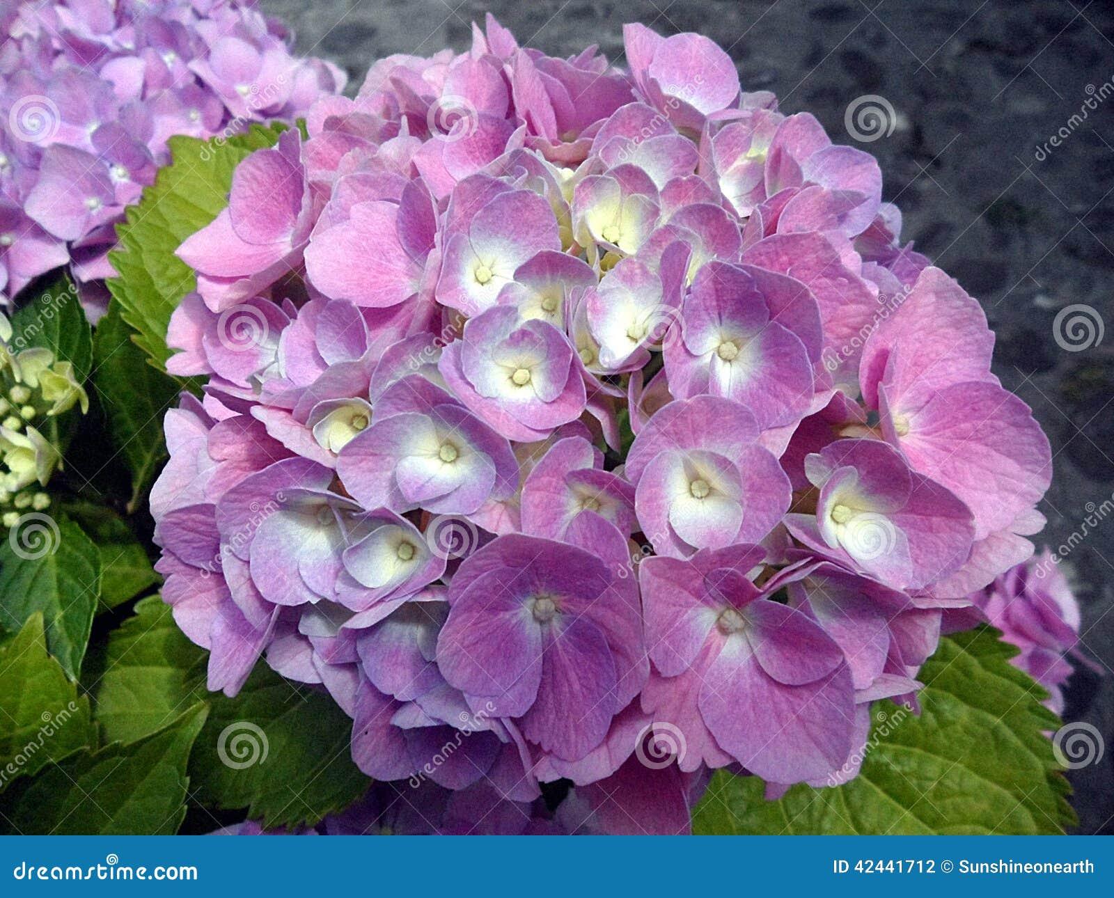 Flores frescas del hydrangea del flor
