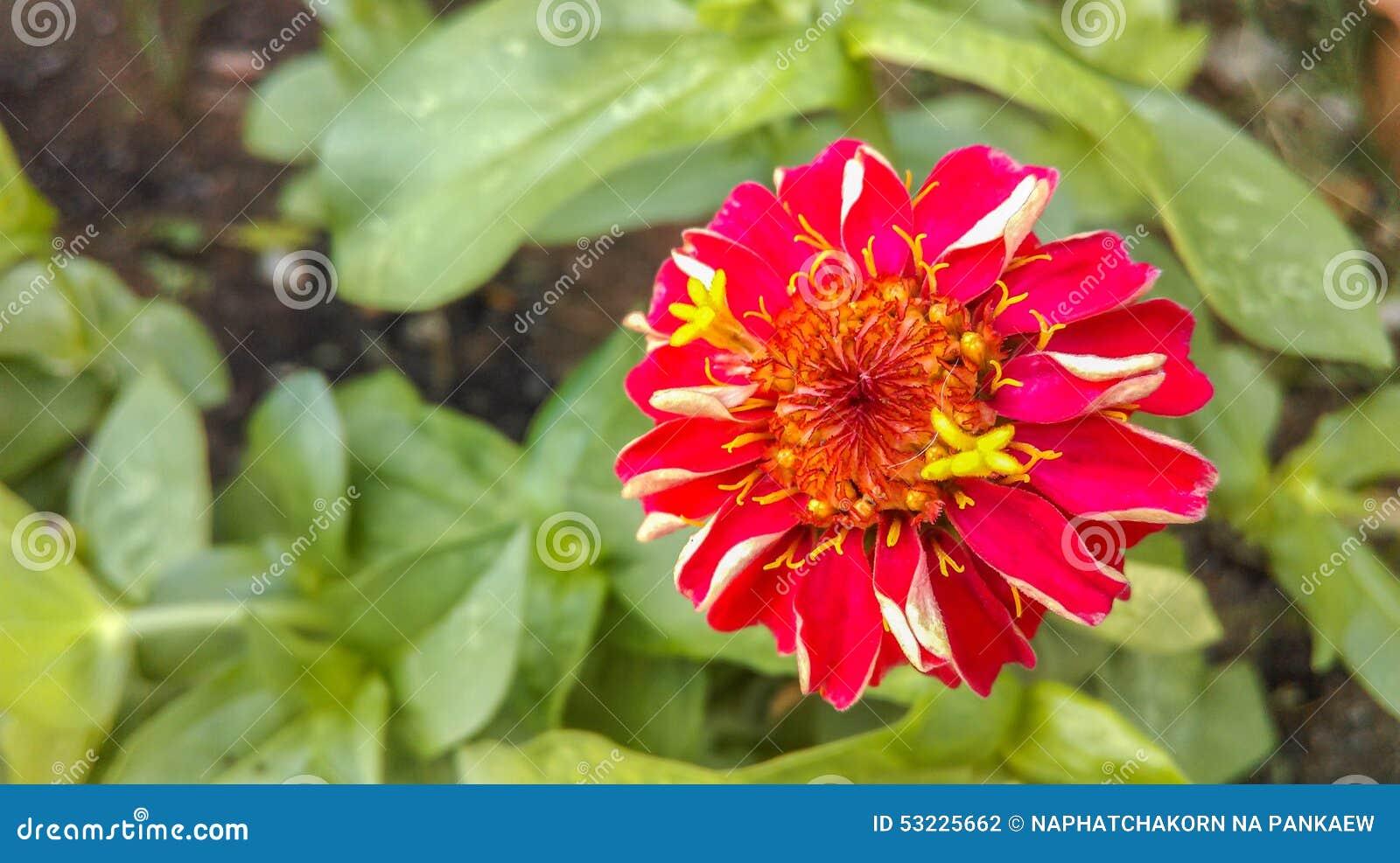Flores fucsias rojas