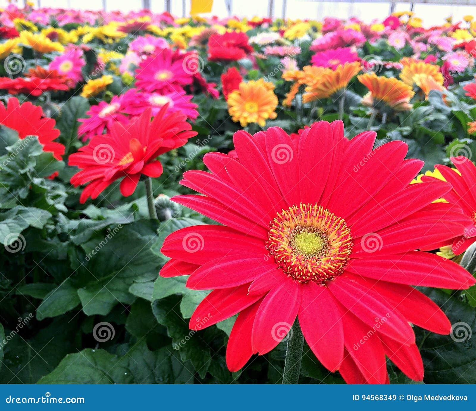 Flores Gerberas Imagen De Archivo Imagen De Houseplant 94568349
